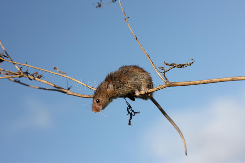 Download Harvest Mouse, Micromys Minutus Stock Photo - Image: 33062878