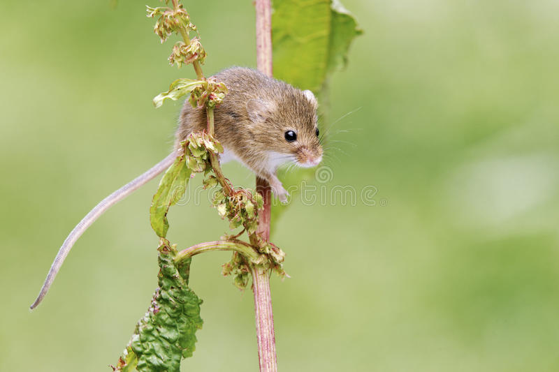 Harvest mouse, Micromys minutus stock photography