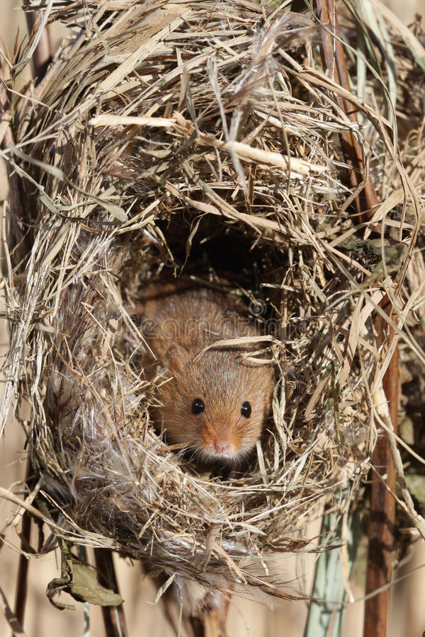 Download Harvest Mouse, Micromys Minutus Stock Photo - Image: 31917130