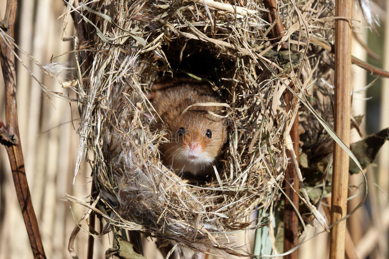 Download Harvest Mouse, Micromys Minutus Stock Image - Image: 31917137