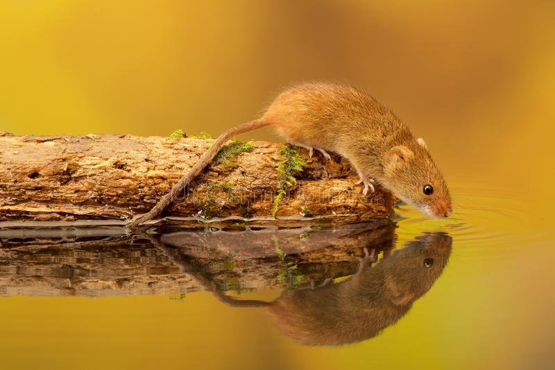 Harvest mouse pitstop stock photo