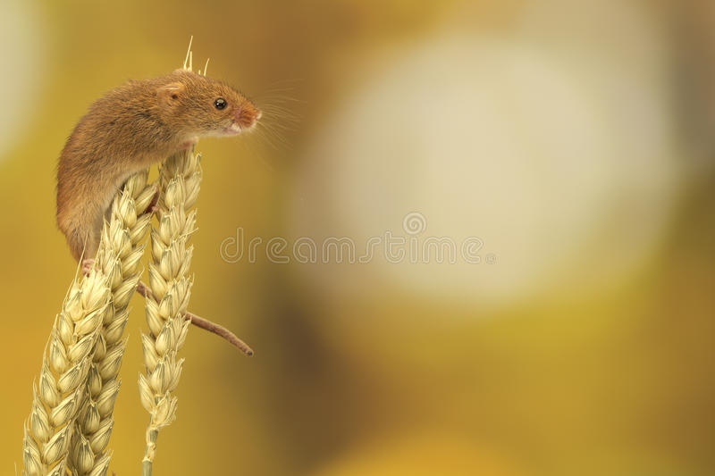 Harvest mouse on wheat stock photography