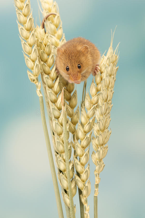 Harvest mouse on wheat royalty free stock photos