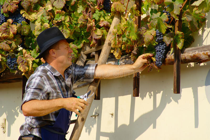 Harvest of the Old Vine on Lent in Maribor royalty free stock photos