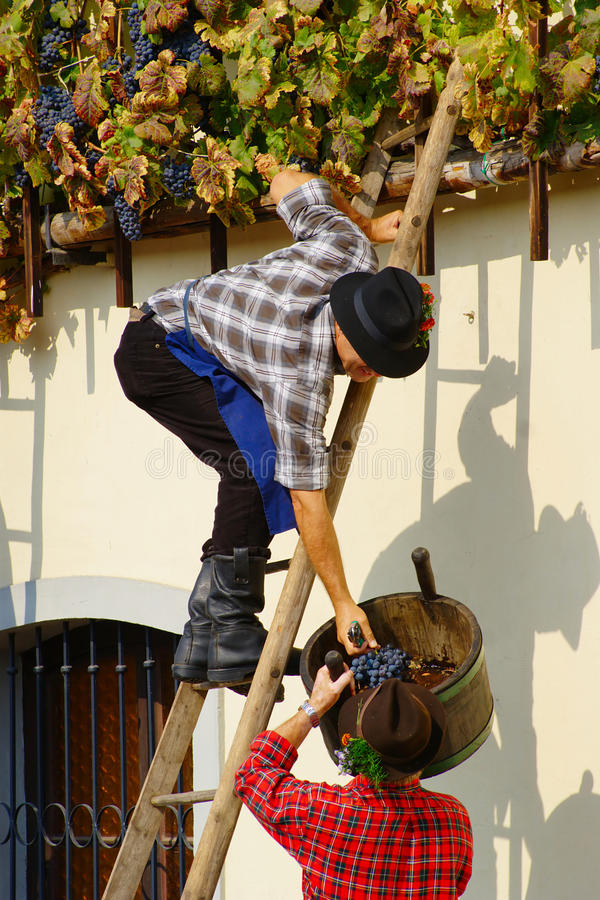 Harvest of the Old Vine on Lent in Maribor stock photos