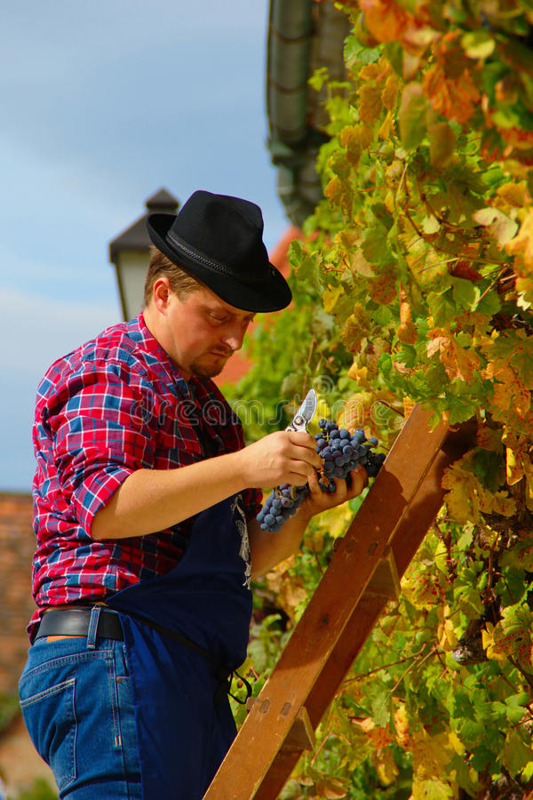 Harvest of the Old Vine on Lent in Maribor royalty free stock images