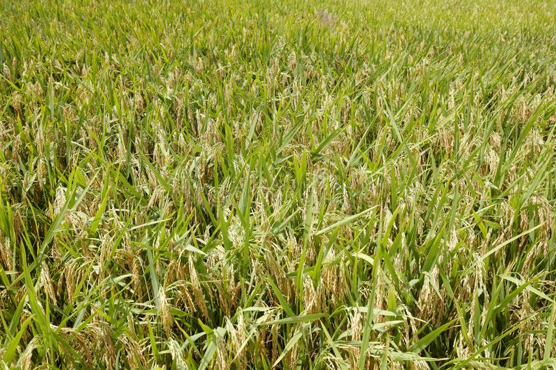 Mature rice, adobe rgb. Harvest paddy field in village of xiangan district, xiamen city, fujian province, china. after the granary is fulfilled, the people know royalty free stock photos
