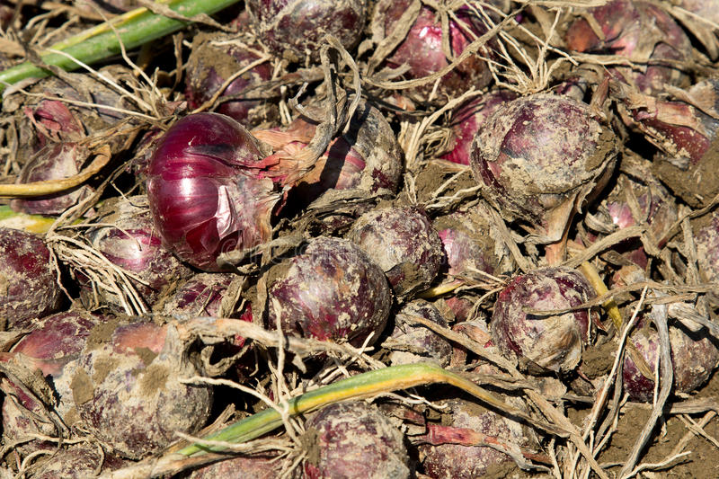 Harvest of red organic onion stock images