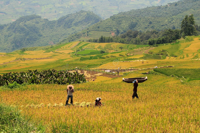 Harvest in the rice field stock images
