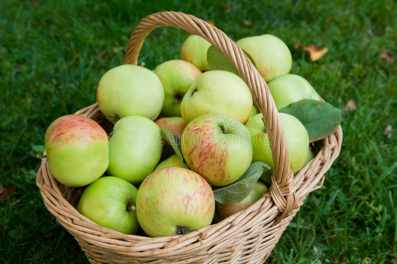 Harvest of ripe apples in a basket on the grass stock images