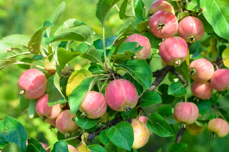 Harvest ripe apples on branch with green leaves and sunlight in autumn. Harvest ripe apples on a branch with green leaves and sunlight in autumn, agriculture stock photos