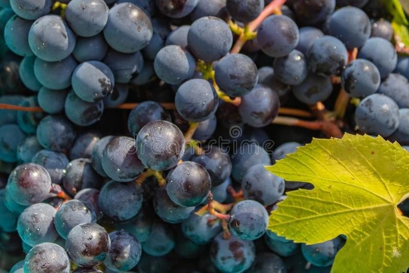 Harvest of ripe grapes harvested in early autumn. The view from the top. Harvest of ripe grapes harvested in early autumn, The view from the top royalty free stock image
