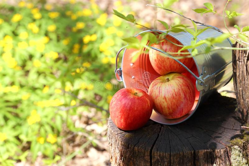 Harvest of ripe juicy red apples in a bucket on a stump on a nat stock photo