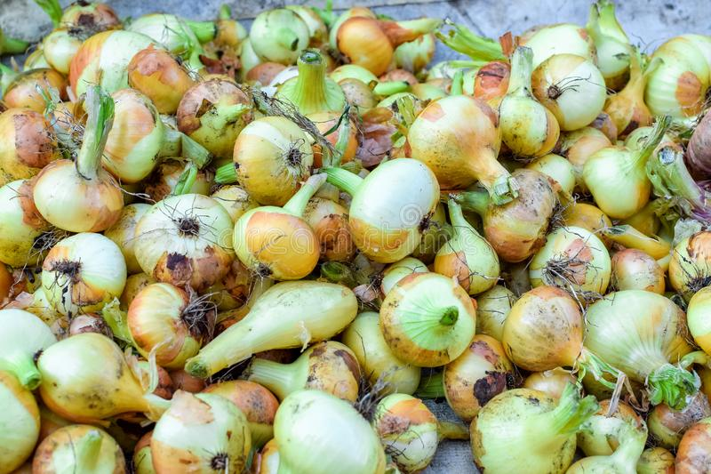 Harvest of ripe onions with green tail in a heap in autumn. Harvest of ripe onions with green tail in heap in autumn, background, brown, food, healthy royalty free stock image
