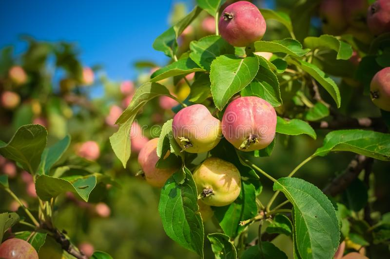 Harvest ripe pink apples on a branch with green leaves in autumn. Harvest ripe pink apples on a branch with green leaves in the autumn, agriculture, food, fresh stock image