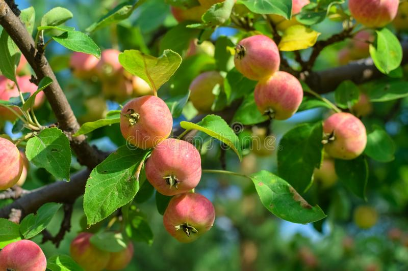 Harvest ripe pink apples on a branch with green leaves in autumn royalty free stock images