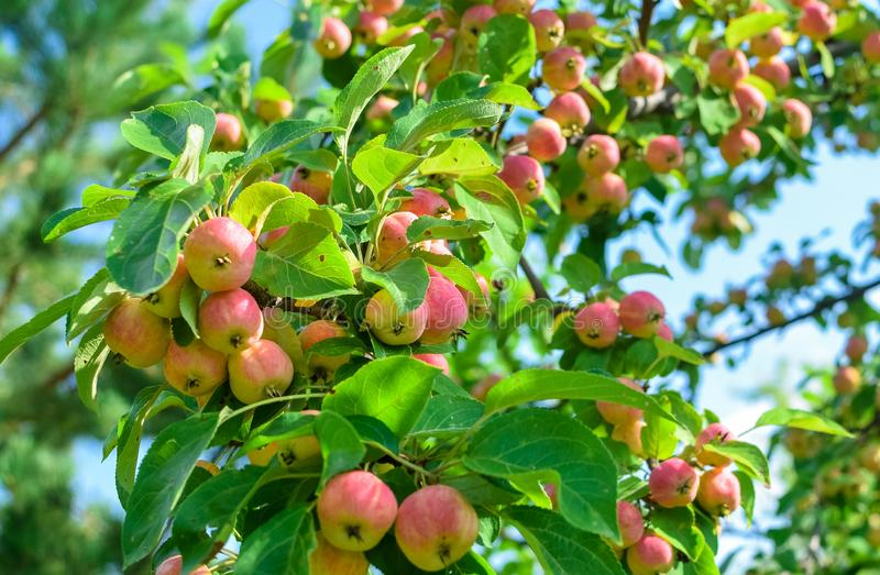 Harvest ripe pink apples on branch with green leaves and sunlight in autumn. Harvest ripe pink apples on branch with green leaves and sunlight in the autumn stock images