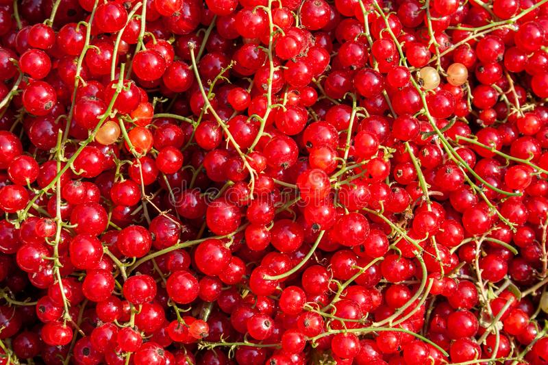 Harvest of ripe red currant berries close-up. Harvest of ripe red currant berries Ribes rubrum close-up stock image