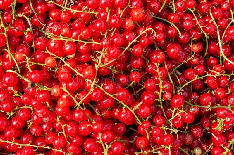 Harvest of ripe red currant berries close-up. Harvest of ripe red currant berries Ribes rubrum close-up stock images