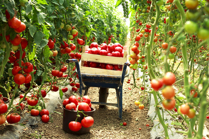 Harvest ripe tomatoes stock photo