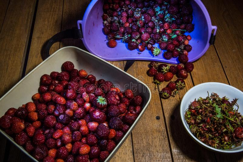 Harvest of the riped strawberry the separation of the leaves royalty free stock images