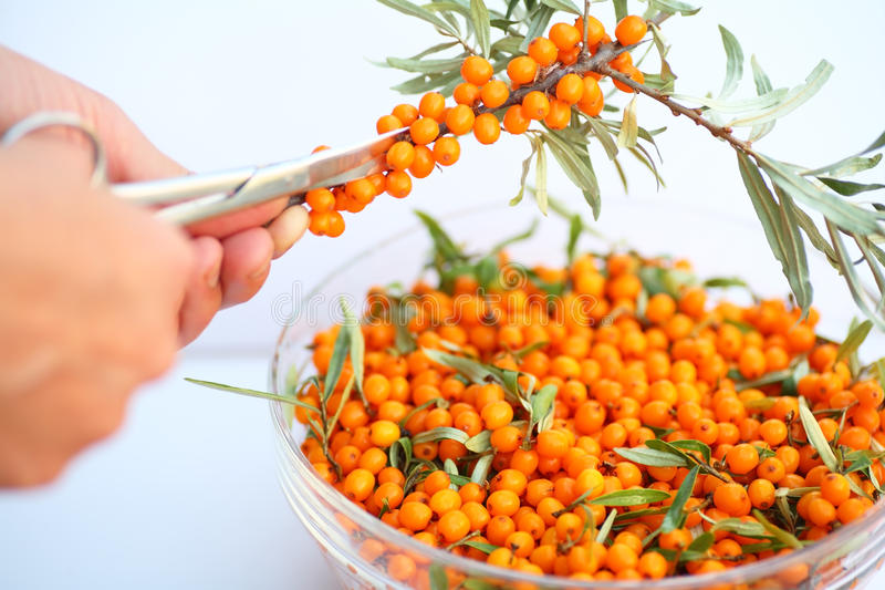 Download The Harvest Of Seabuckthorn Stock Photo - Image of autumn, harvest: 10896612