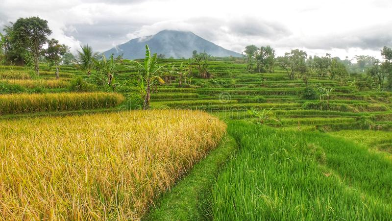 Before the harvest season in the city of Garut Indonesia. Looking forward to the harvest season while seeing the beautiful scenery of rice fields, mountains royalty free stock photography
