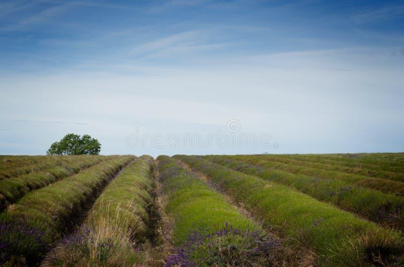 After the lavender harvest stock images