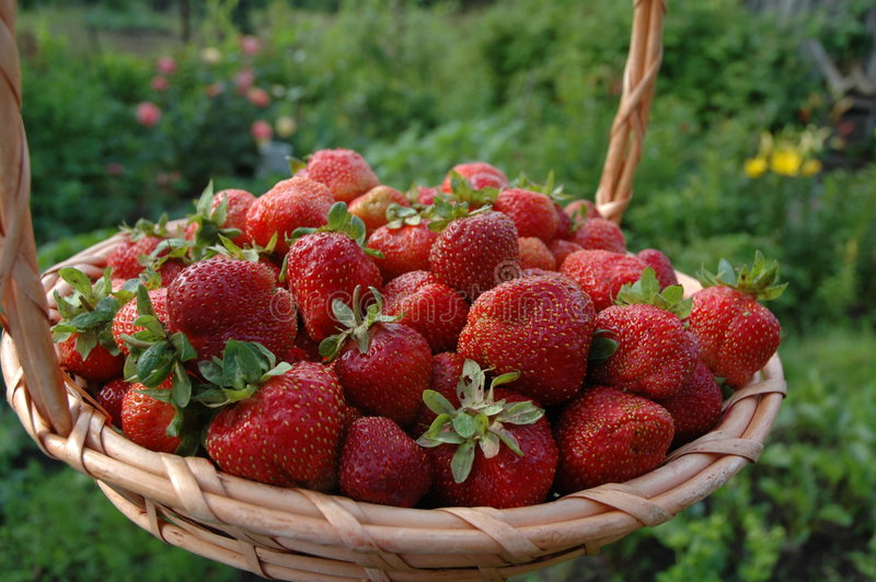 Harvest of the strawberries. In my garden, July 2005, Nikon D70 kit stock photo