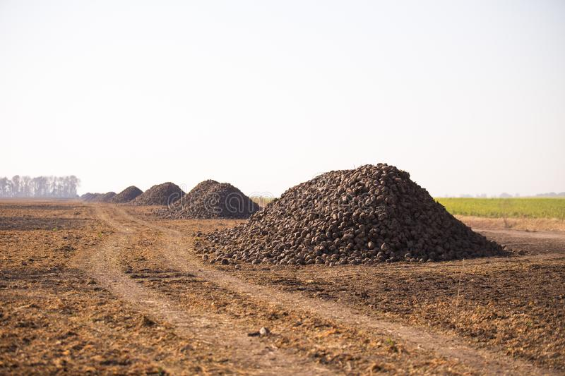 The harvest of sugar beet is piled on the field. Theme is agricultural and rural. On a sunny day, autumn is a view towards the. Horizon stock images