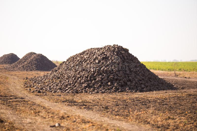 The harvest of sugar beet is piled on the field. Theme is agricultural and rural. On a sunny day, autumn is a view towards the. Horizon stock photography