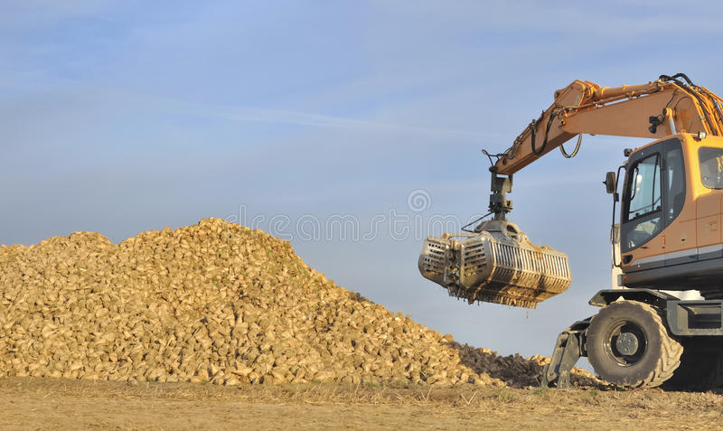 Harvest sugar beets. Agricultural shovel over a pile of sugar beets royalty free stock image