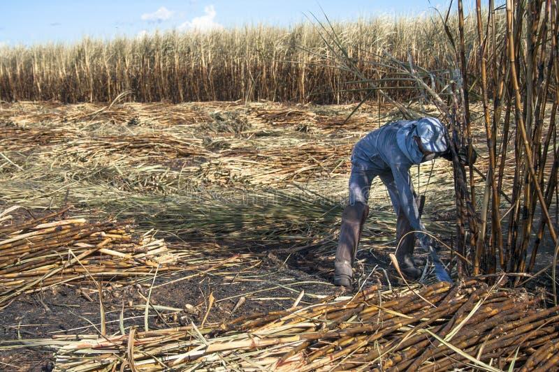 Harvest Sugar Cane. SÃO PAULO, BRAZIL. APRIL 04, 2008. labour harvest sugar cane, Brazil stock photo