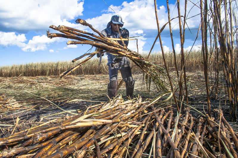 Harvest sugar cane stock photography