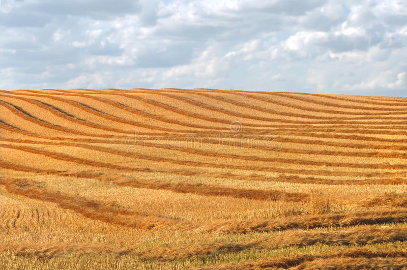 Download Harvest Swathing In A Prairie Field Stock Photo - Image: 26292668