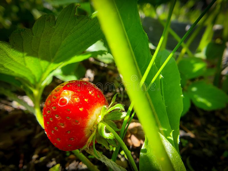 Harvest of sweet fresh outdoor red strawberry, growing outside in soil in green garden stock images
