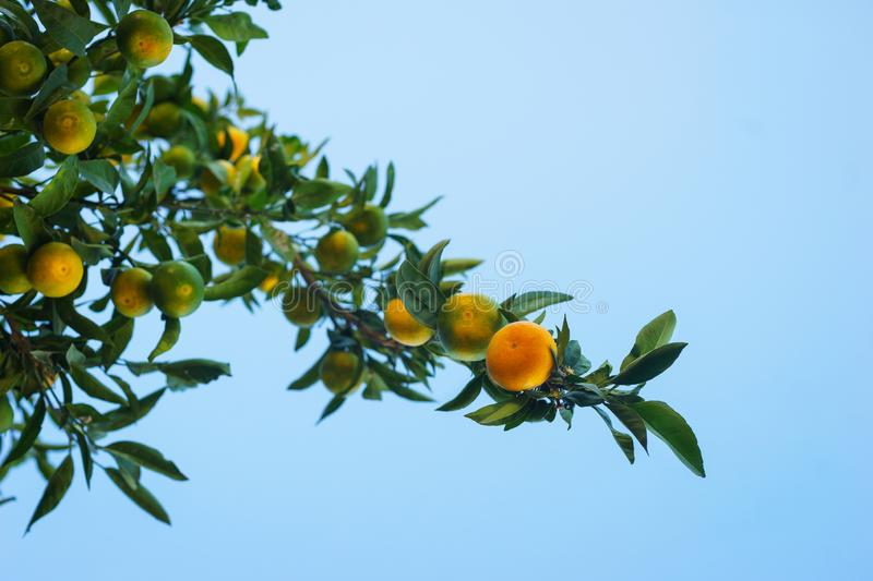 Harvest tangerines in the garden on the branches of the tangerine tree. Nature and fresh citrus fruits. royalty free stock photography