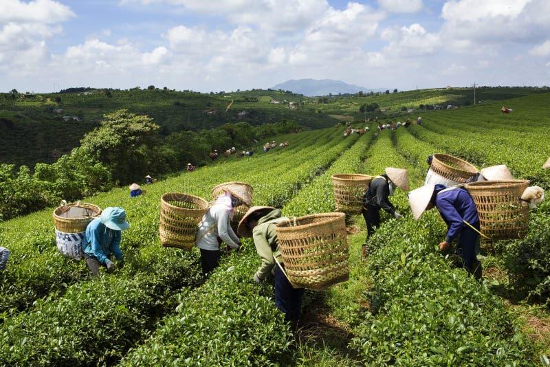 Harvest tea in Bao Loc, Lam Dong, Vietnam stock image