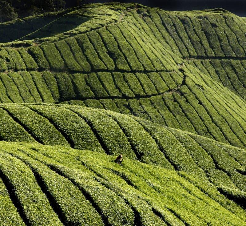 Download Harvest of tea-leaves stock photo. Image of landscapes - 1154706