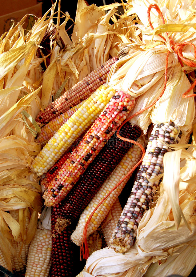 Harvest Time. Bunches of indian corn for sale at a farmer's market royalty free stock photo