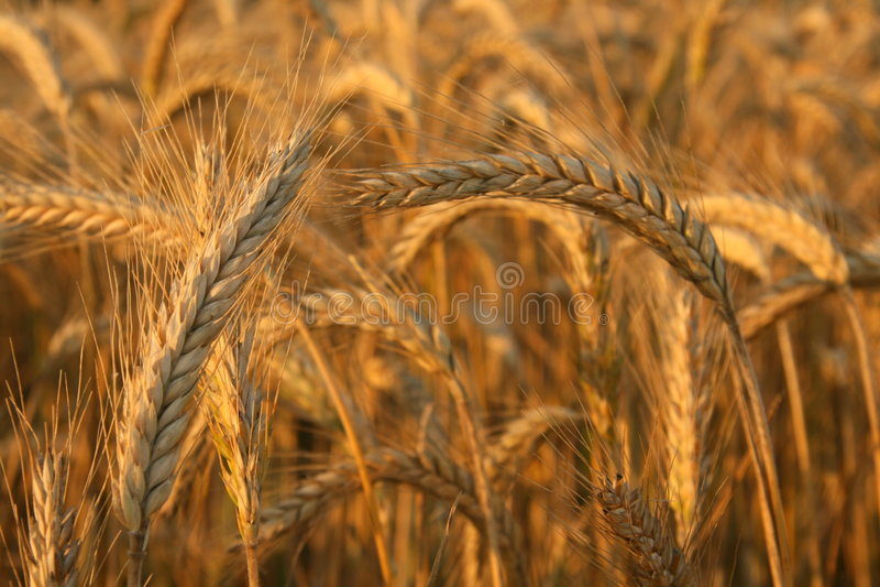 Download Harvest time stock image. Image of agricultural, ethanol - 5901955