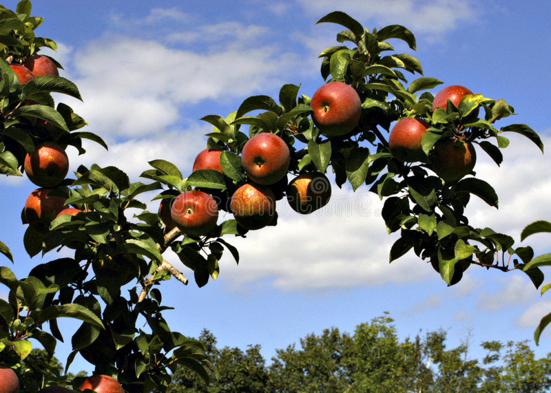 Download Harvest time stock photo. Image of apples, summer, warm - 81220
