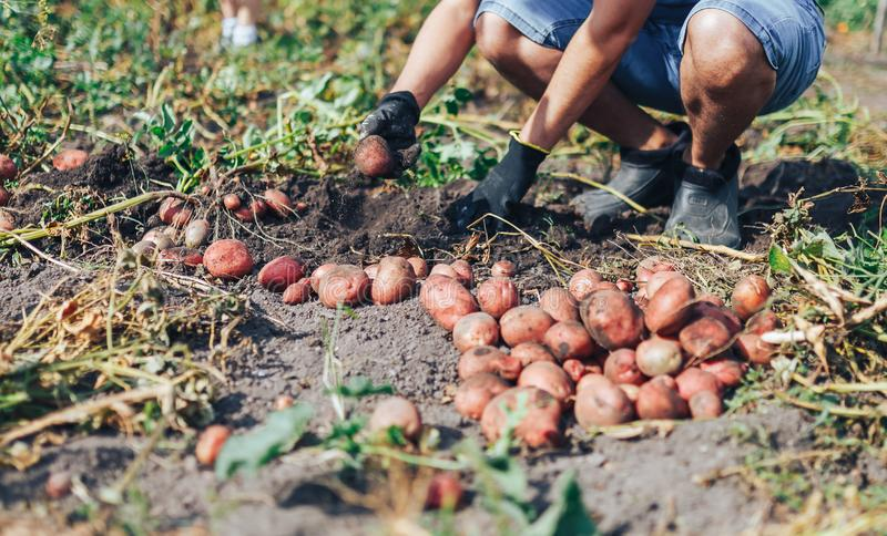 Harvest time concept. Farmer harvesting fresh organic potatoes from soil stock image