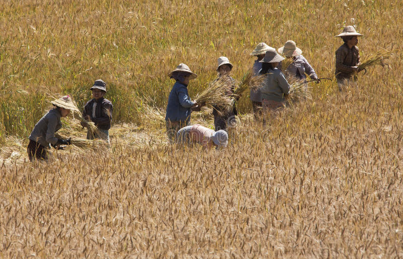 Harvest Time - Myanmar royalty free stock photos
