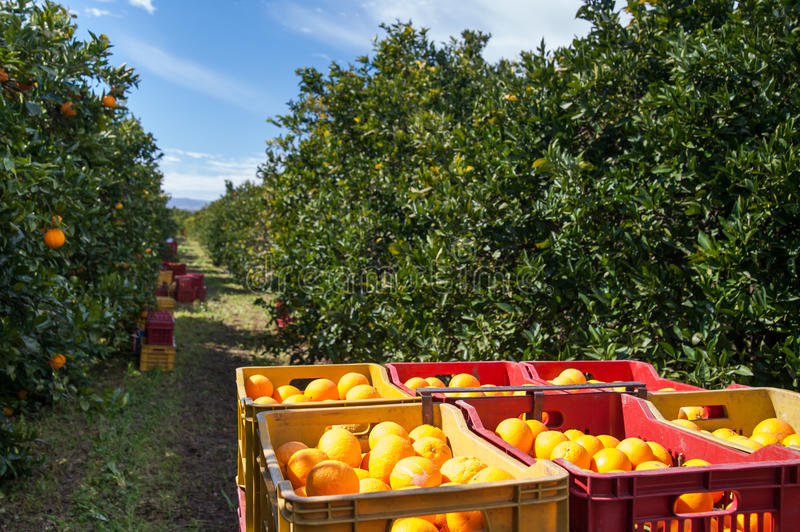 Harvest time. Red and yellow plastic fruit boxes full of oranges by orange trees during harvest season in Sicily stock photography