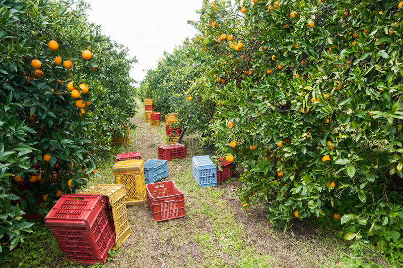 Harvest time. Red and yellow plastic fruit boxes by orange trees during harvest season in Sicily stock image