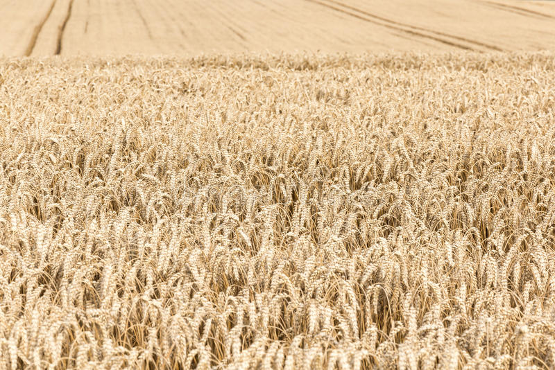 Harvest time - ripe corn. royalty free stock photos