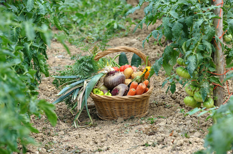 Harvest vegetables two royalty free stock images