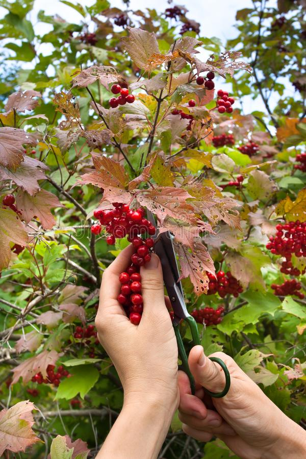 Harvest of viburnum berries royalty free stock images