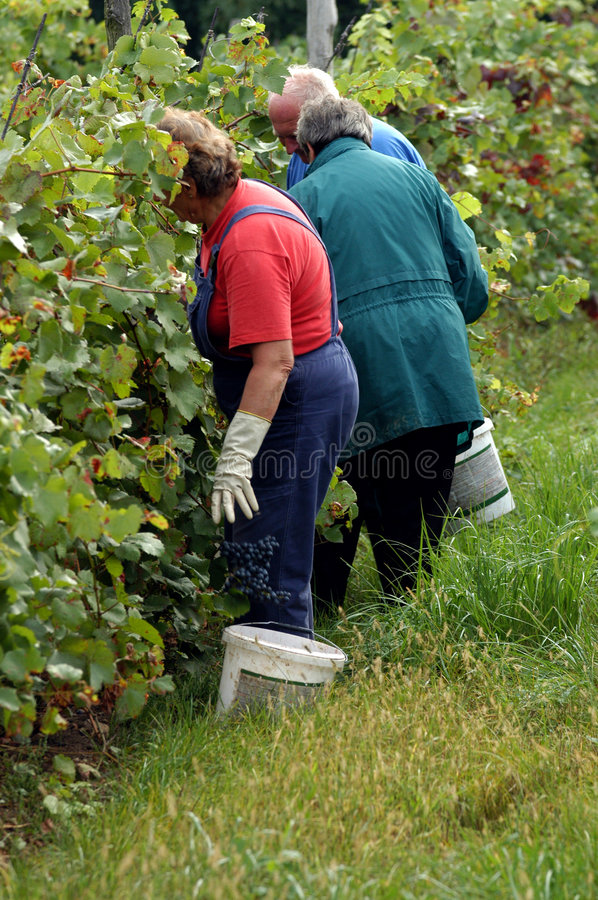 Harvest workers royalty free stock photo